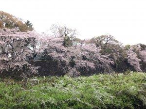 お堀の外から見る名古屋城の桜
